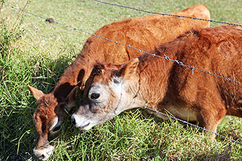 Jersey cows eating grass