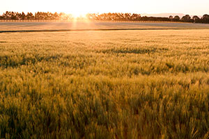 Sunset field of grains