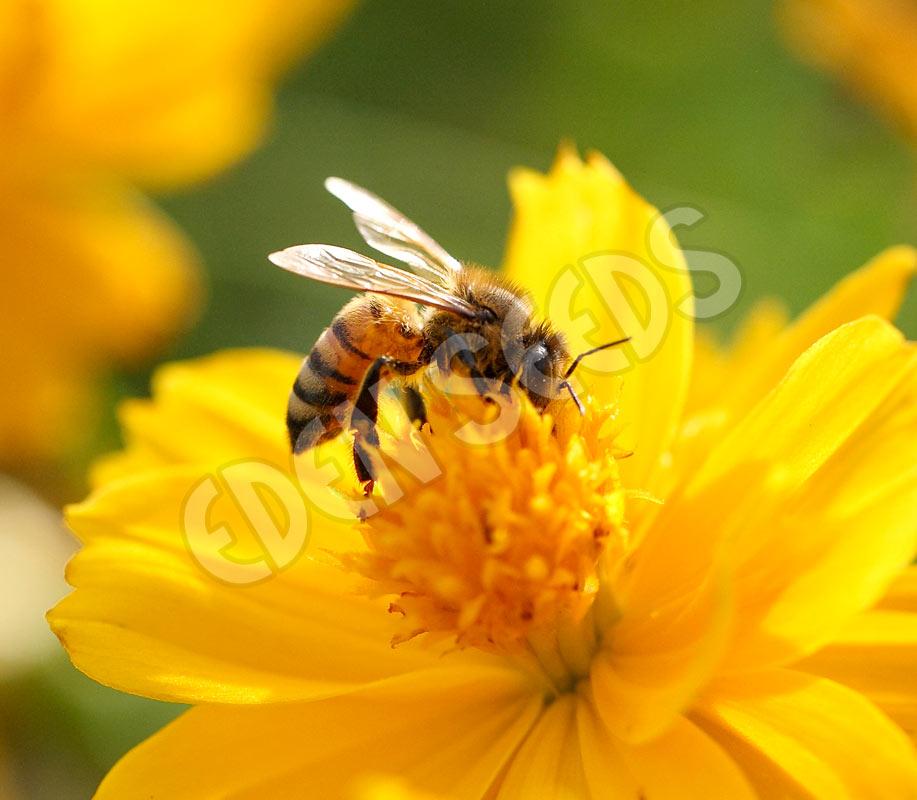 Bee Flower Mix Eden Seeds