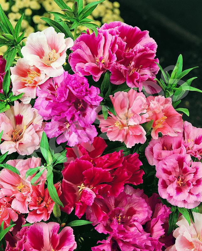 Impatiens Balsamina Camellia