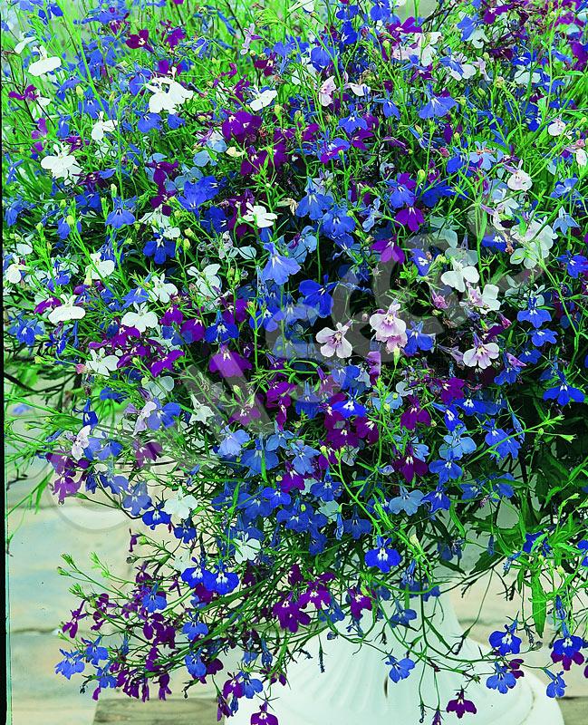 Lobelia Colour Cascade Mixed Eden Seeds