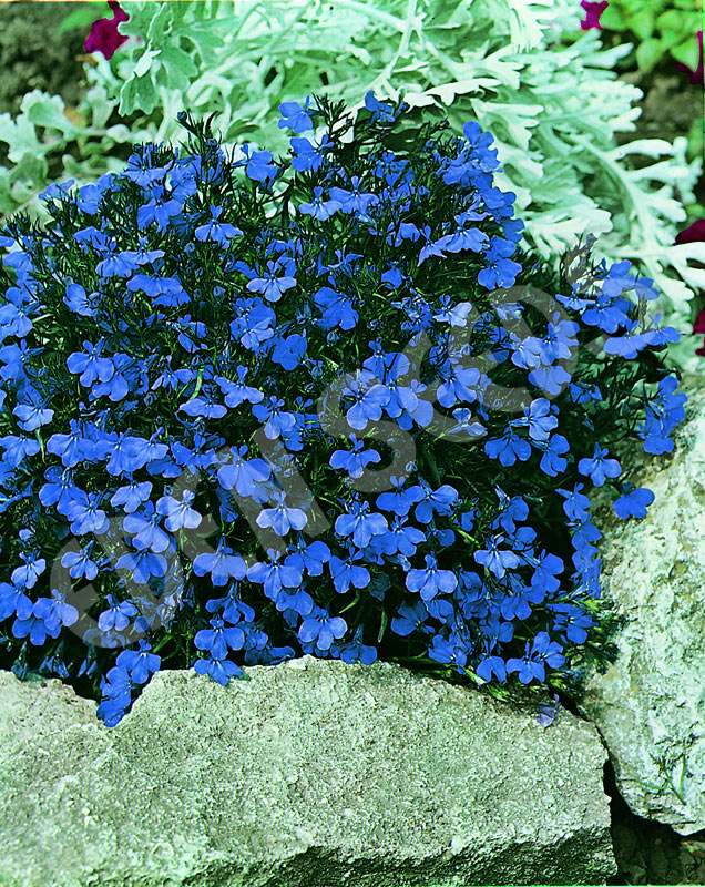 Lobelia Crystal Palace Eden Seeds