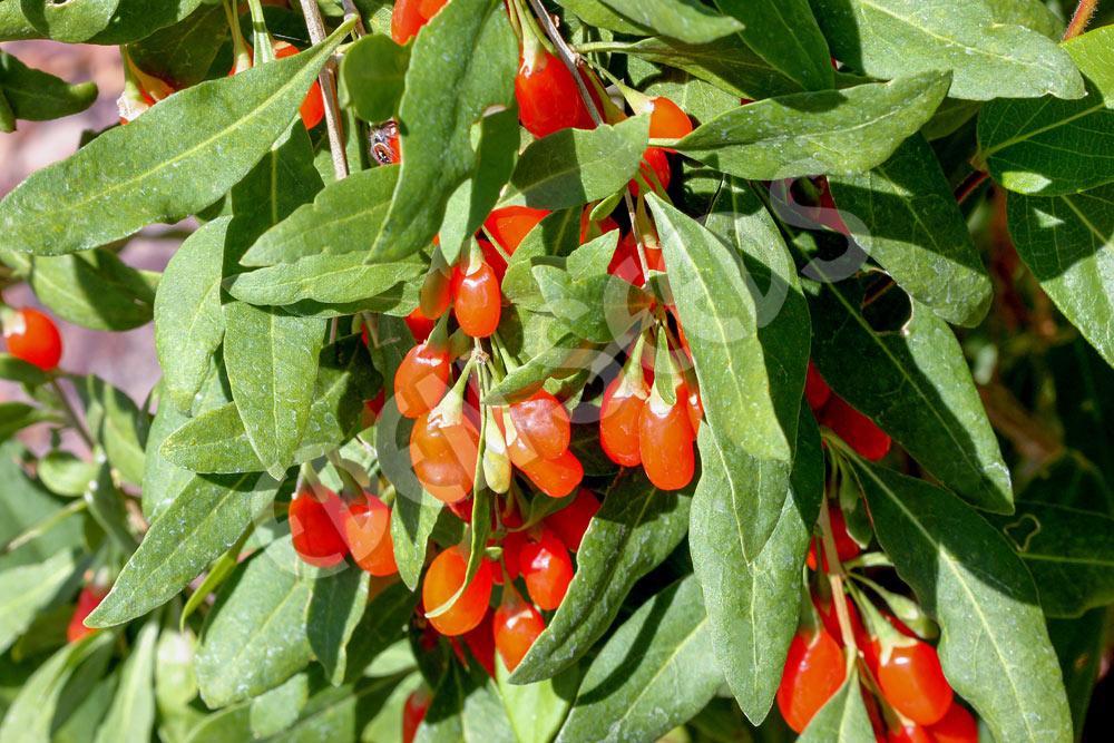 Goji Berry Eden Seeds