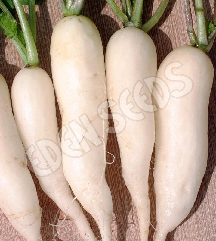 Long White Icicle Radish Seeds Radish White Icicle Eden