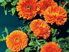 Calendula - Ball's Orange