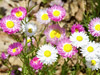 Everlasting - Pink And White Everlasting