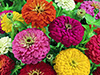 Zinnia - Dahlia Flowered Mix