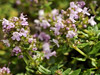 Thyme - Broad Leaved