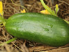 Cucumber - Mideast Prolific