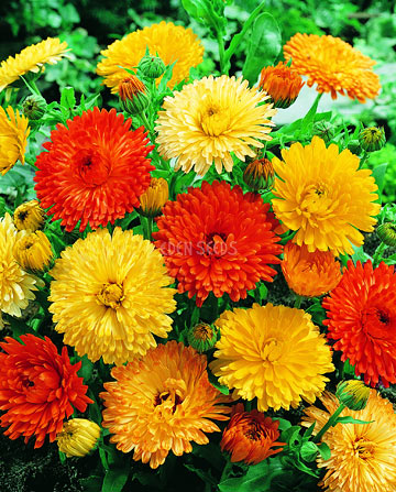 bright calendula flowers