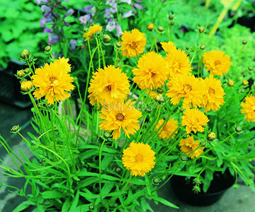 yellow coreopsis flowers in pot