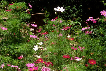 cosmos growing in garden pink and white
