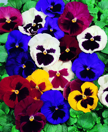 bright pansy flowers in garden