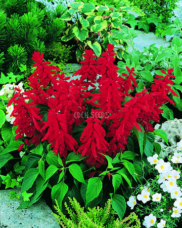 red salvia in garden