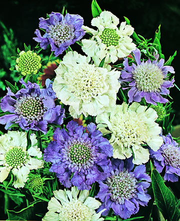 scabiosa flower arrangement