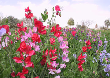 colourful sweetpea flowers in field