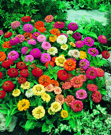 bright zinnia flowers growing in garden