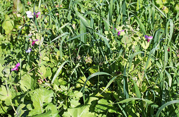 Green Manure Mix Autumn / Winter