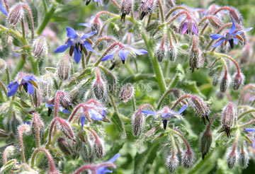 borage flowers in the garden close up