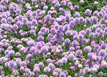 field of chive flowers