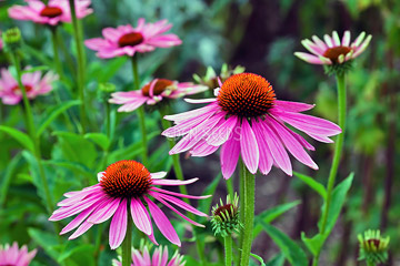 echinacea flower and plant in garden