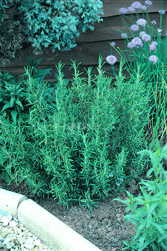 rosemary in garden with other plants around