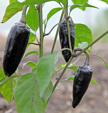 Chilli Black Hungarian