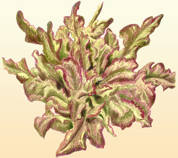 Lettuce Oak Leaf - Purple