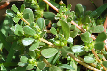 purslane growing in garden