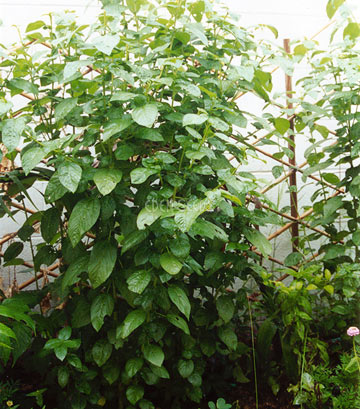 large Egyptian spinach plant growing up lattice in green house