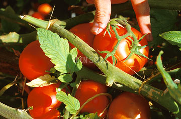 Tomato on vine being picked by hand